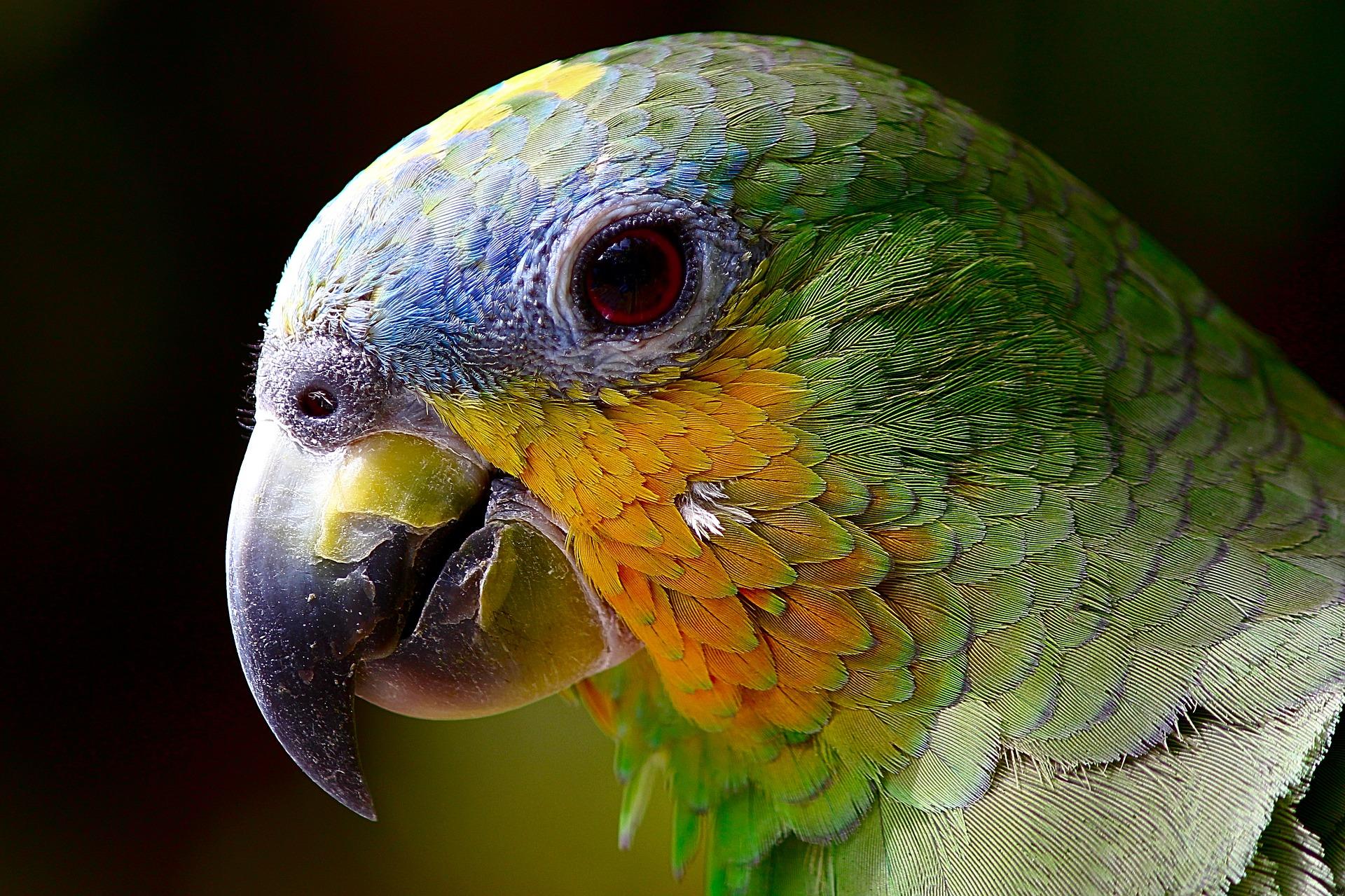 download wallpaper: papegaai wallpaper