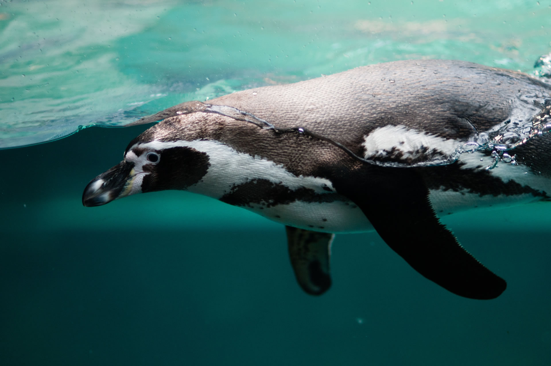 download wallpaper: pinguin wallpaper