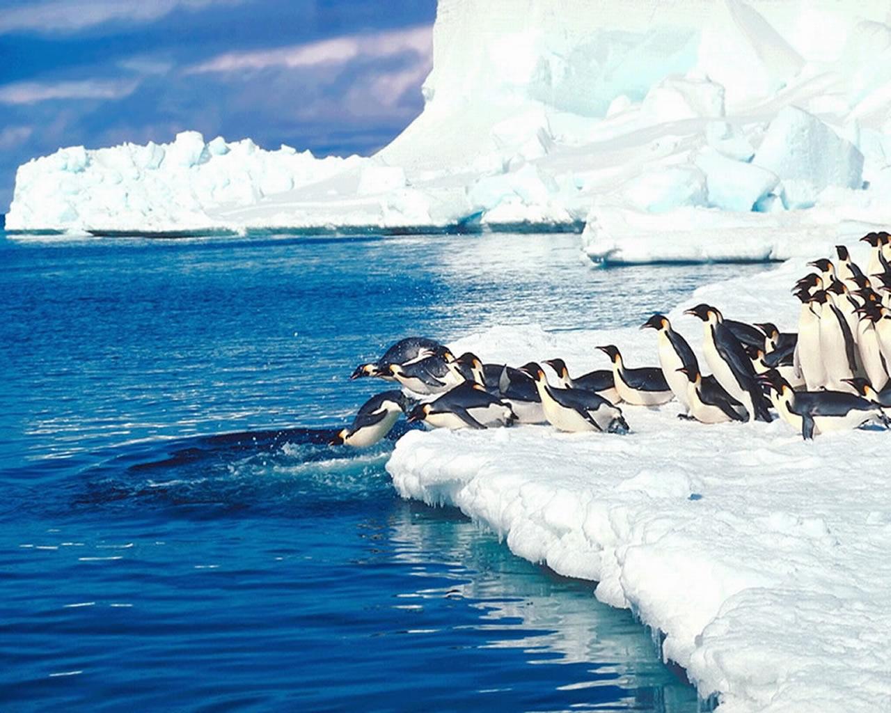 download wallpaper: pinguins duiken van een ijsschots wallpaper
