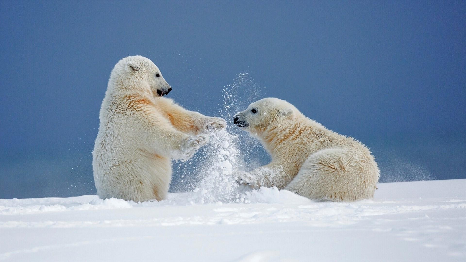 download wallpaper: ijsbeertjes spelen in de sneeuw wallpaper
