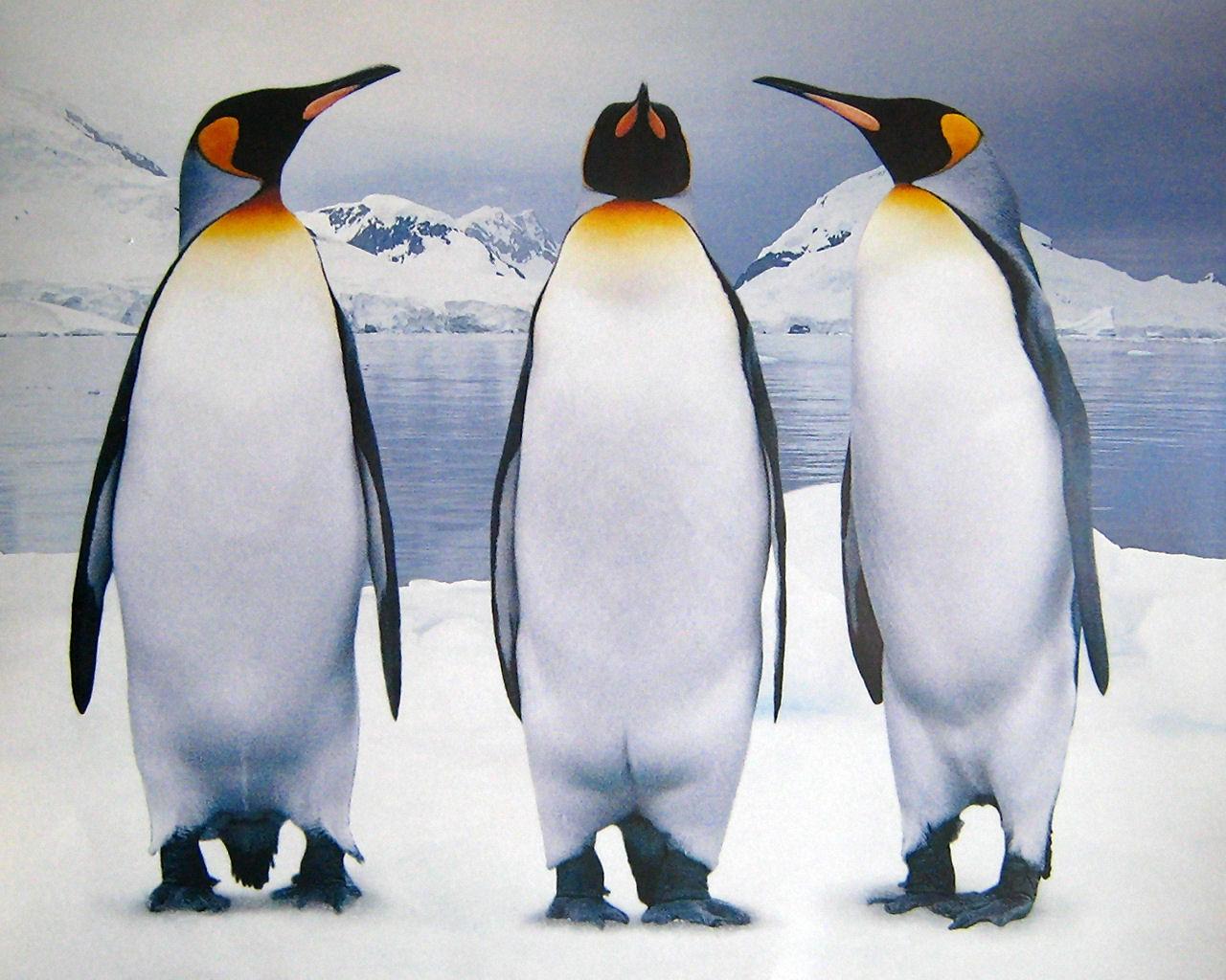 download wallpaper: pooldieren – drie pinguins wallpaper
