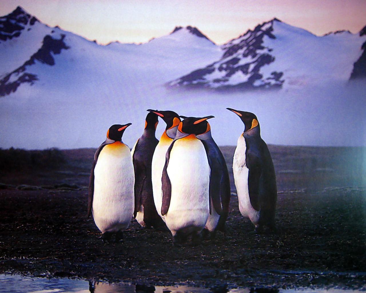 download wallpaper: pooldieren – een groepje pinguins wallpaper