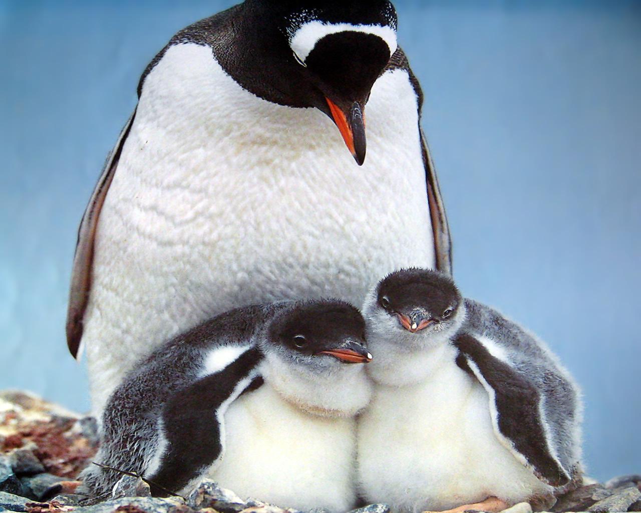 download wallpaper: pooldieren – een pinguinmoeder en haar kuikens wallpaper