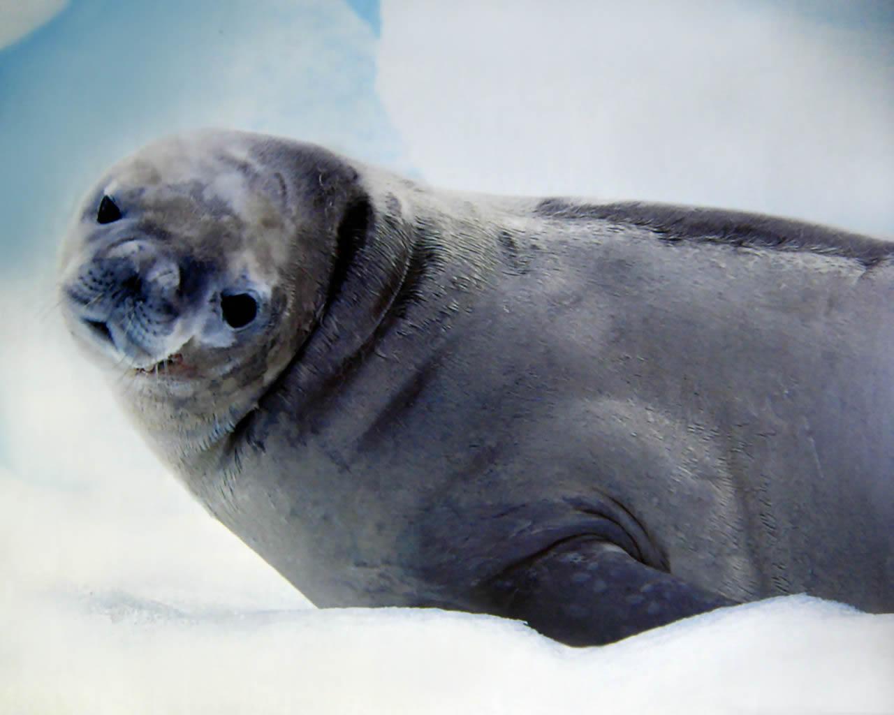 download wallpaper: pooldieren – een zeehond wallpaper
