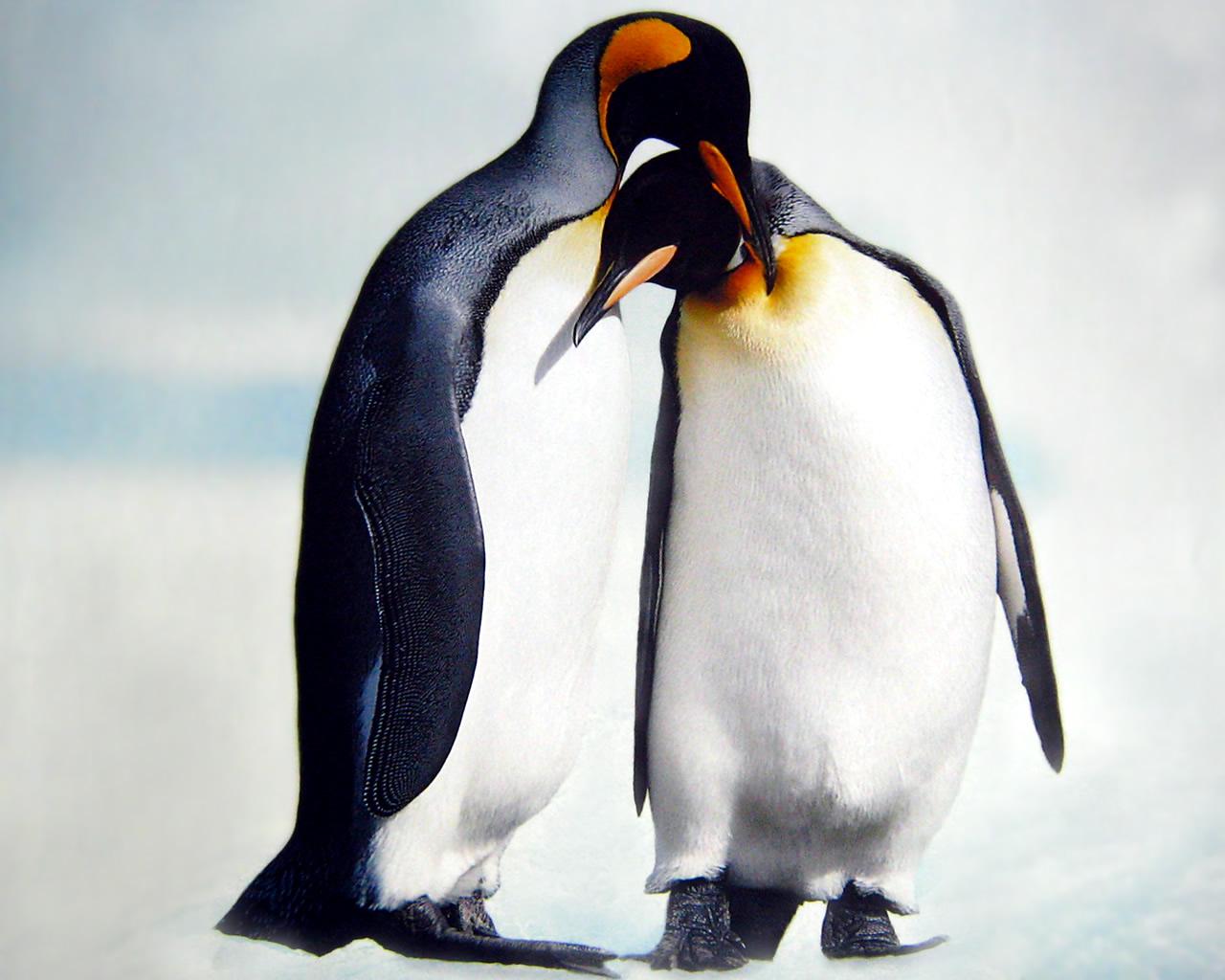 download wallpaper: pooldieren – twee pinguins wallpaper