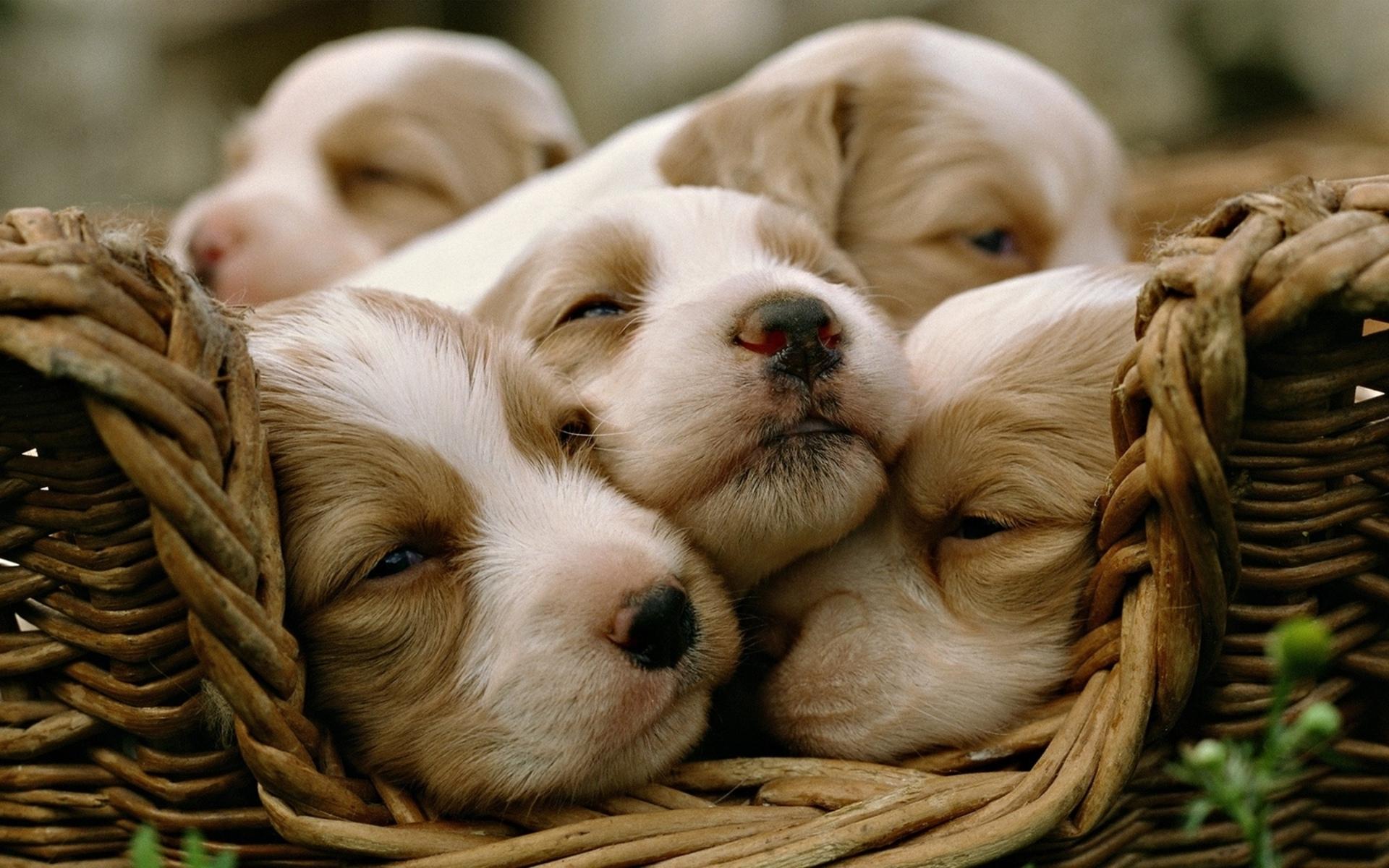download wallpaper: puppies in een mand wallpaper