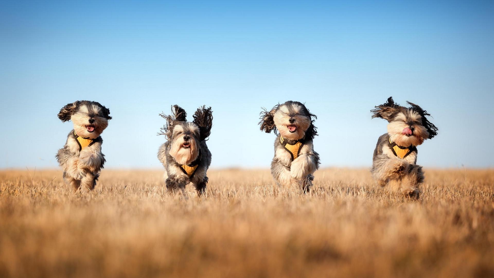 download wallpaper: rennende honden wallpaper