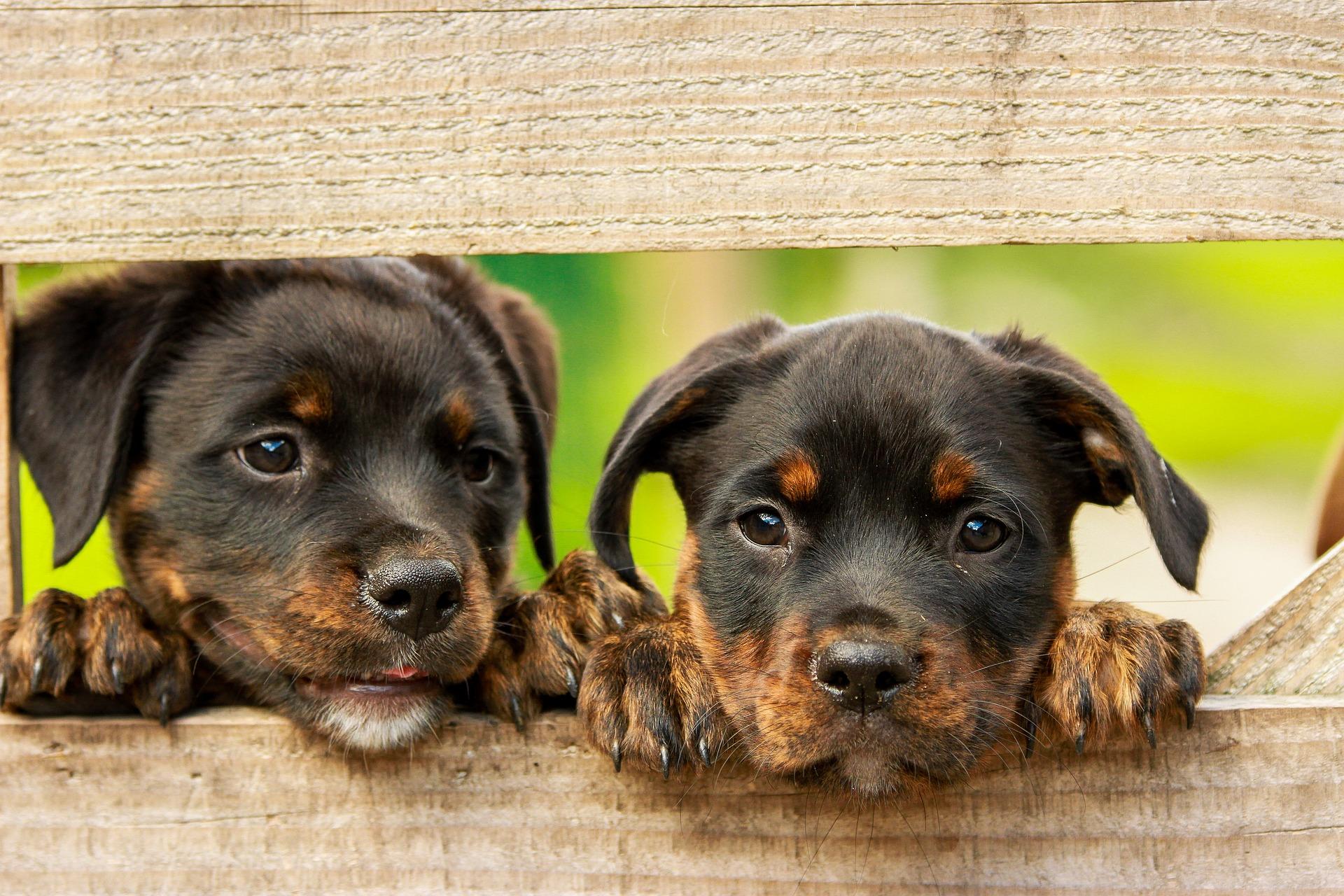download wallpaper: Rottweiler puppier wallpaper