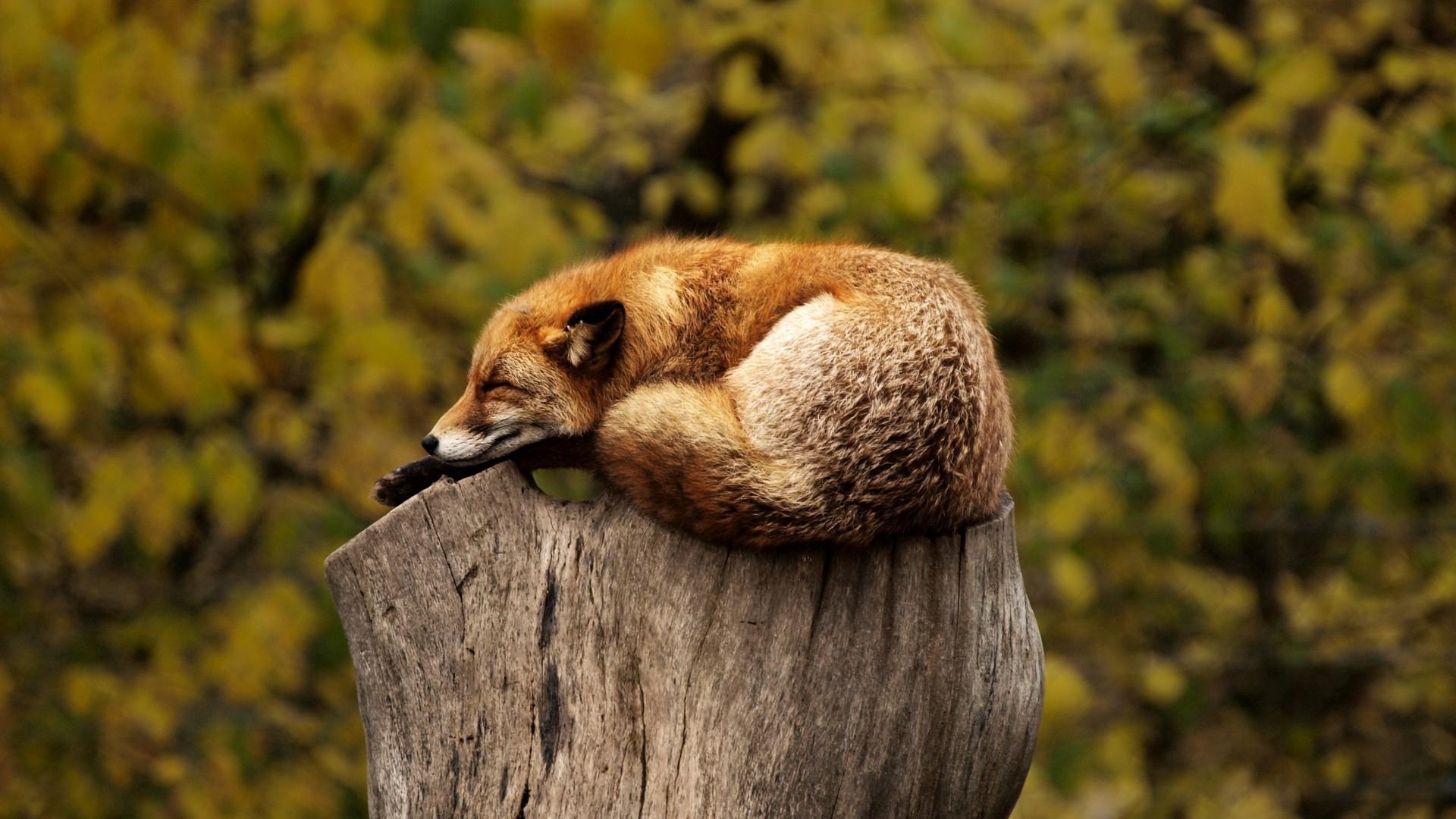 download wallpaper: een slapend vosje wallpaper