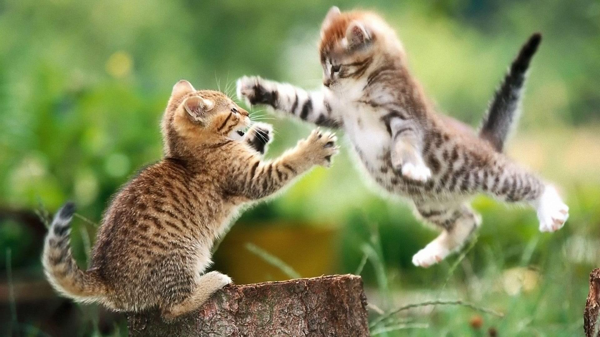 download wallpaper: spelende kittens wallpaper