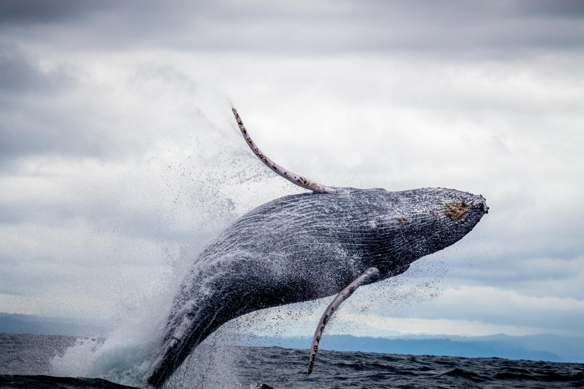 download wallpaper: een springende walvis wallpaper