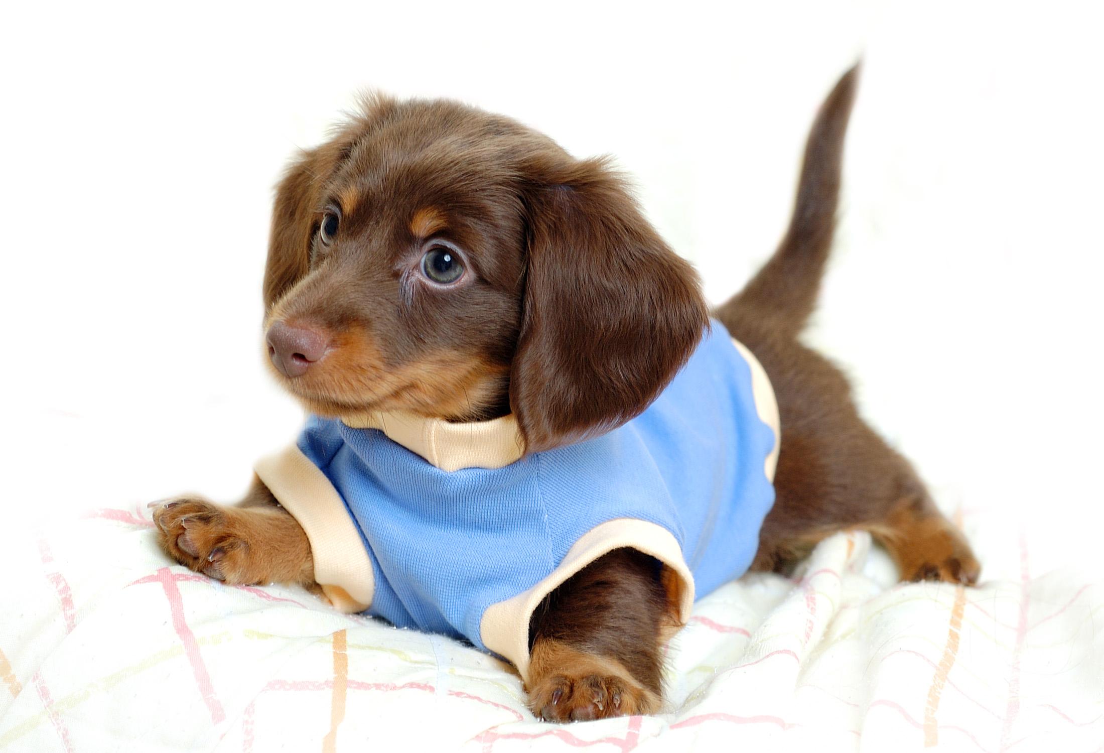 download wallpaper: teckel puppy wallpaper