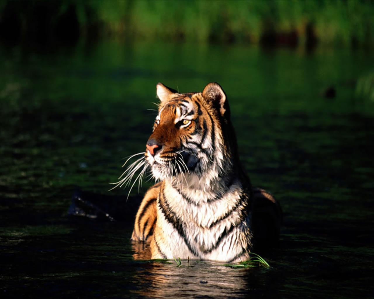 download wallpaper: tijger neemt een bad wallpaper