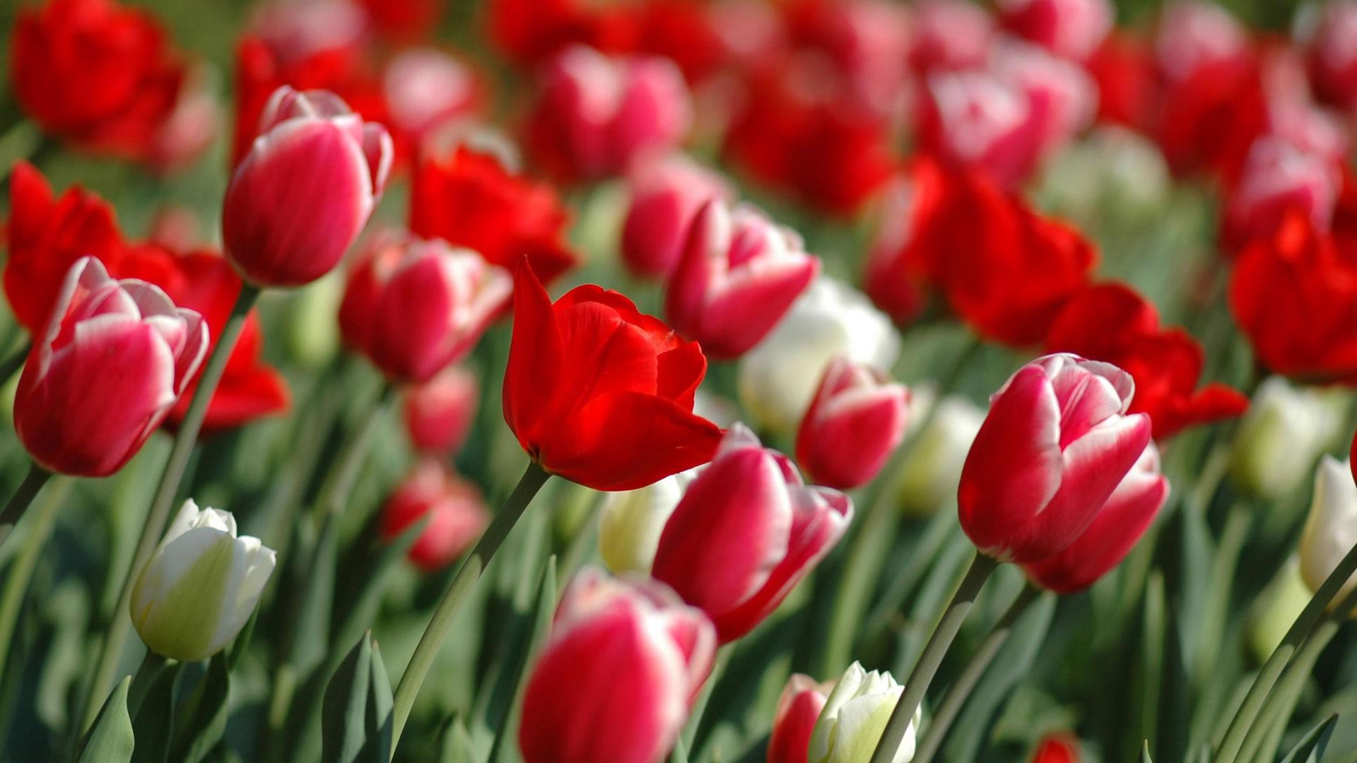 bekijk wallpaper: tulpen kleurplaat