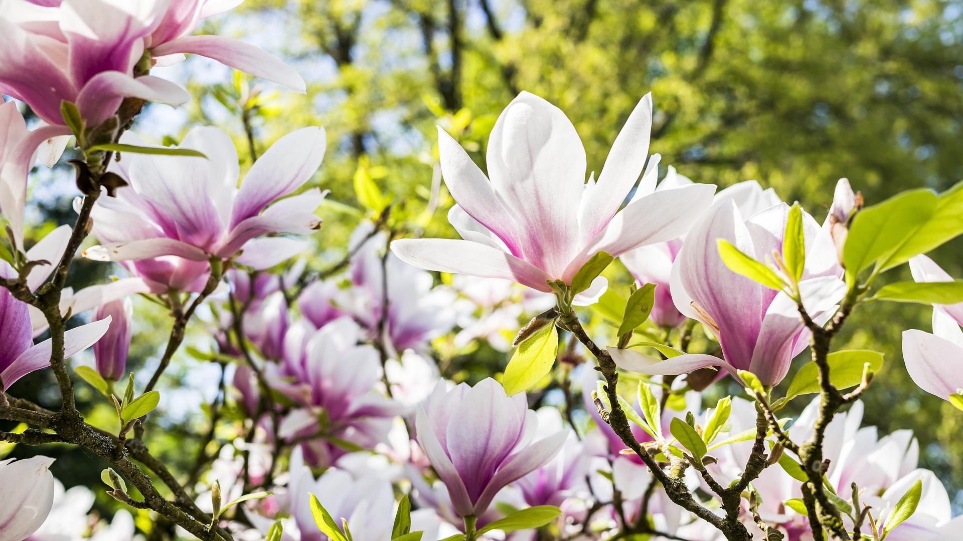 download wallpaper: tulpenboom in bloei wallpaper