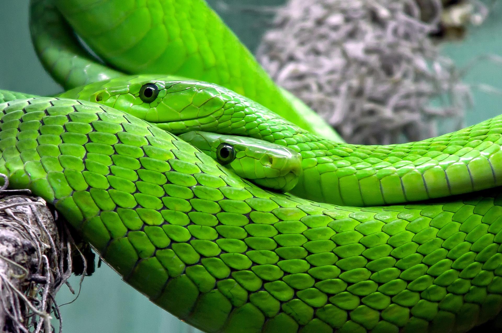 download wallpaper: twee groene pythons wallpaper