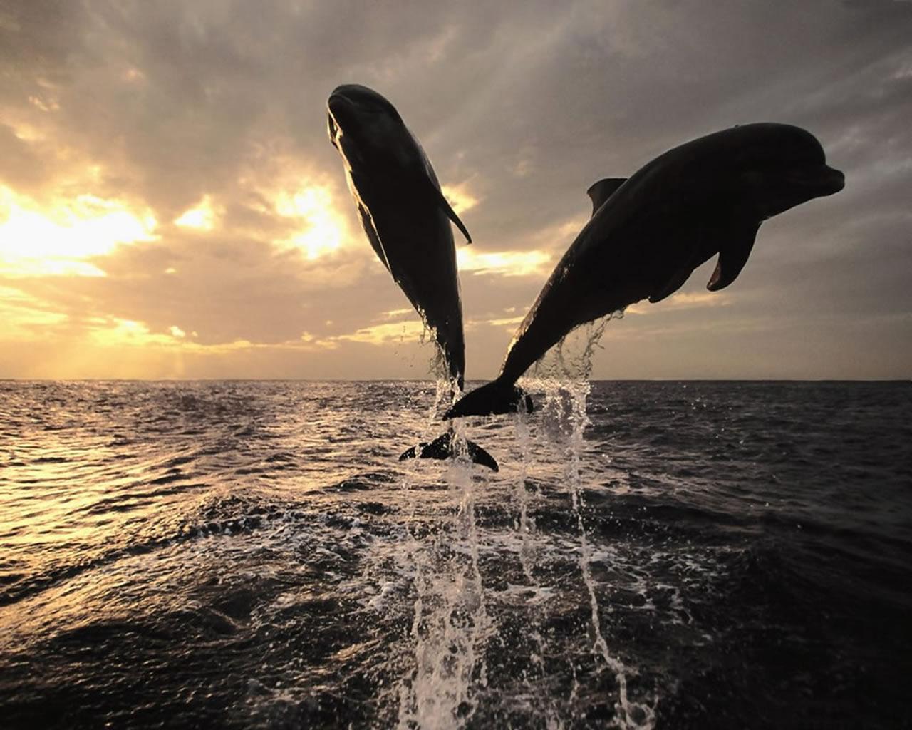 download wallpaper: twee springende dolfijnen wallpaper
