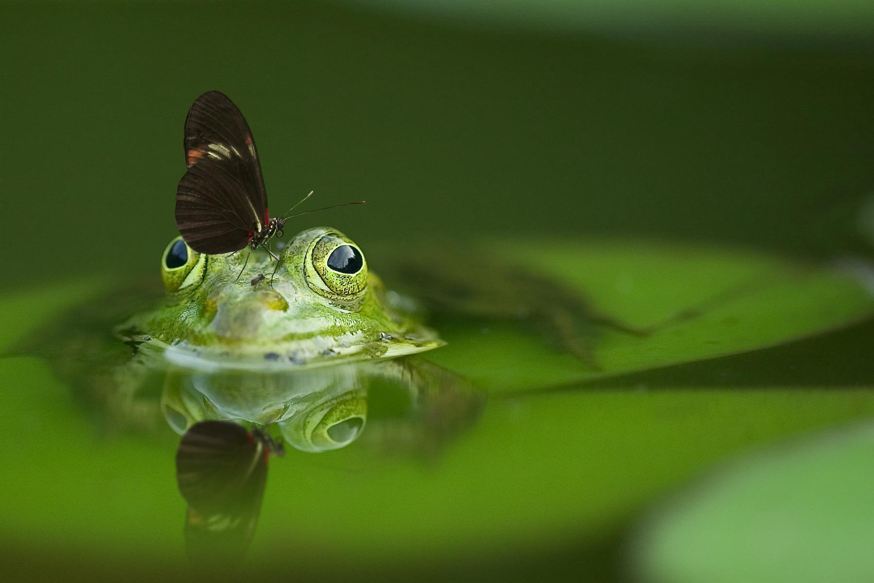 download wallpaper: vlinder landt op een kikker wallpaper