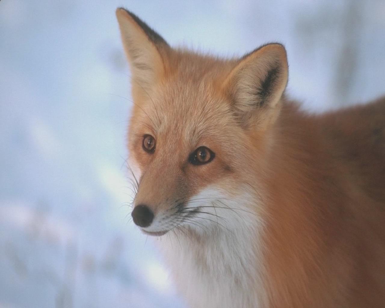 download wallpaper: vos in de sneeuw wallpaper