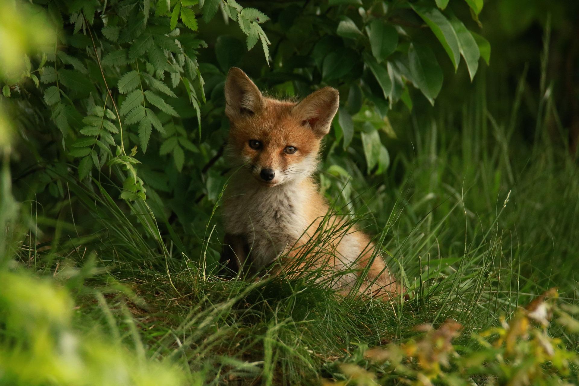 download wallpaper: vosje in het bos wallpaper
