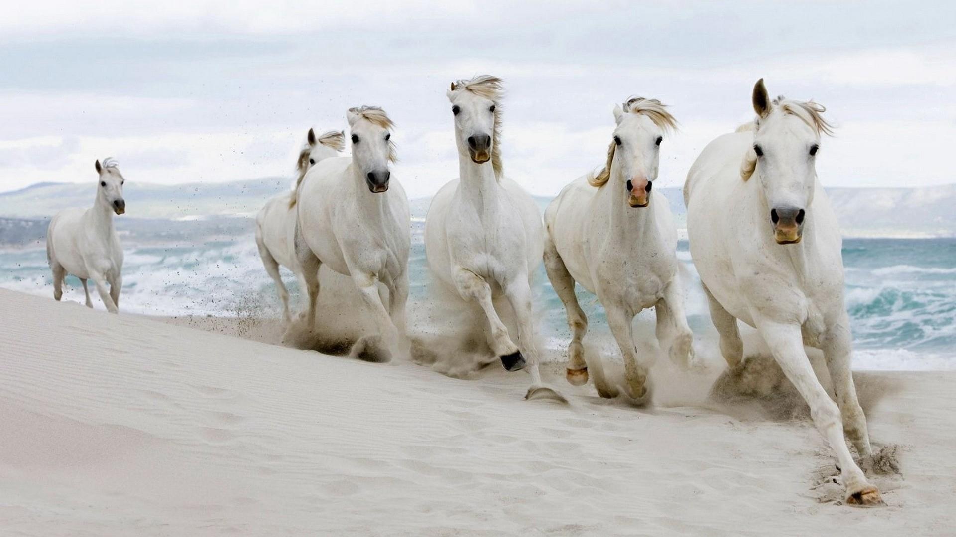 download wallpaper: witte paarden aan het strand wallpaper