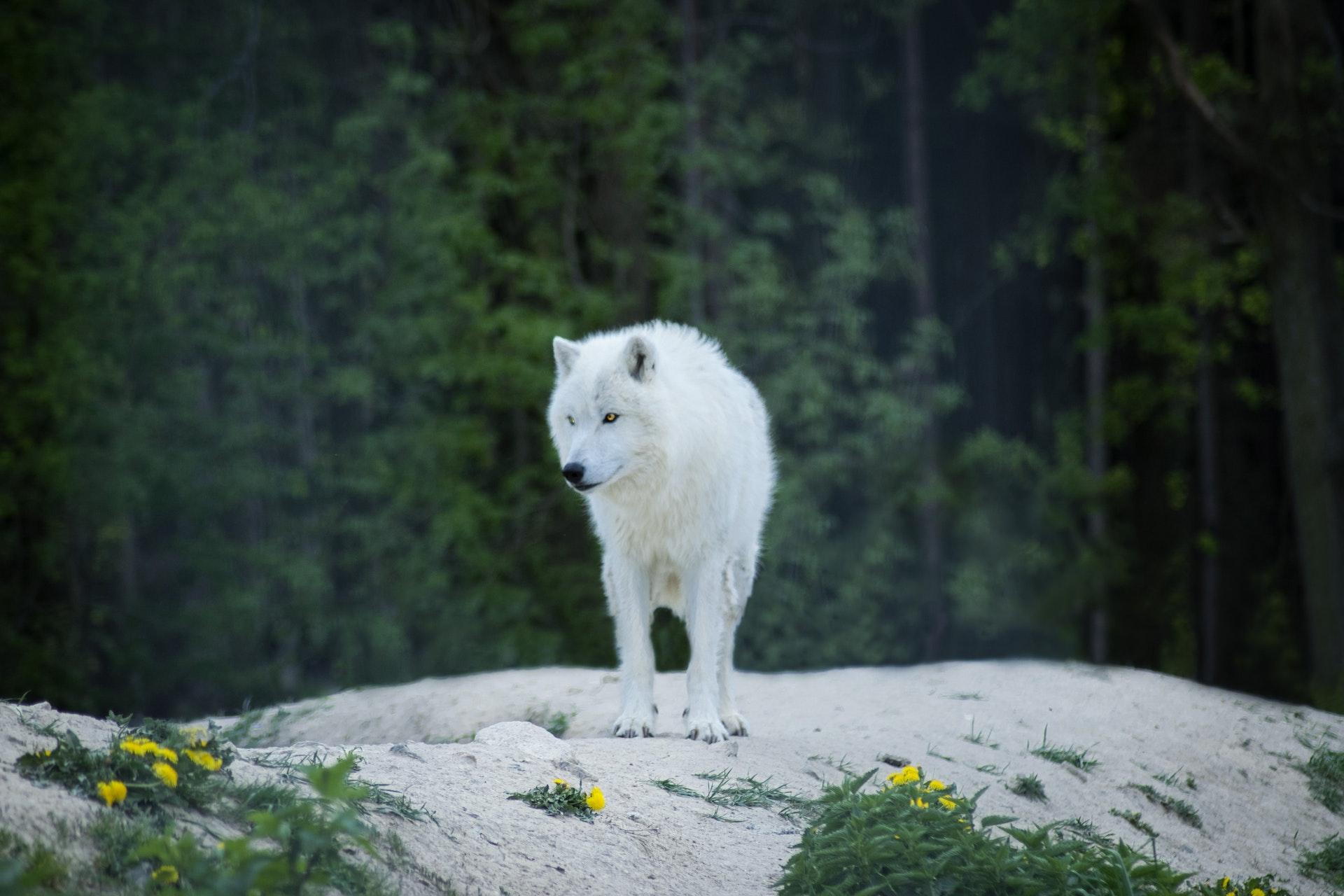 download wallpaper: witte wolf wallpaper