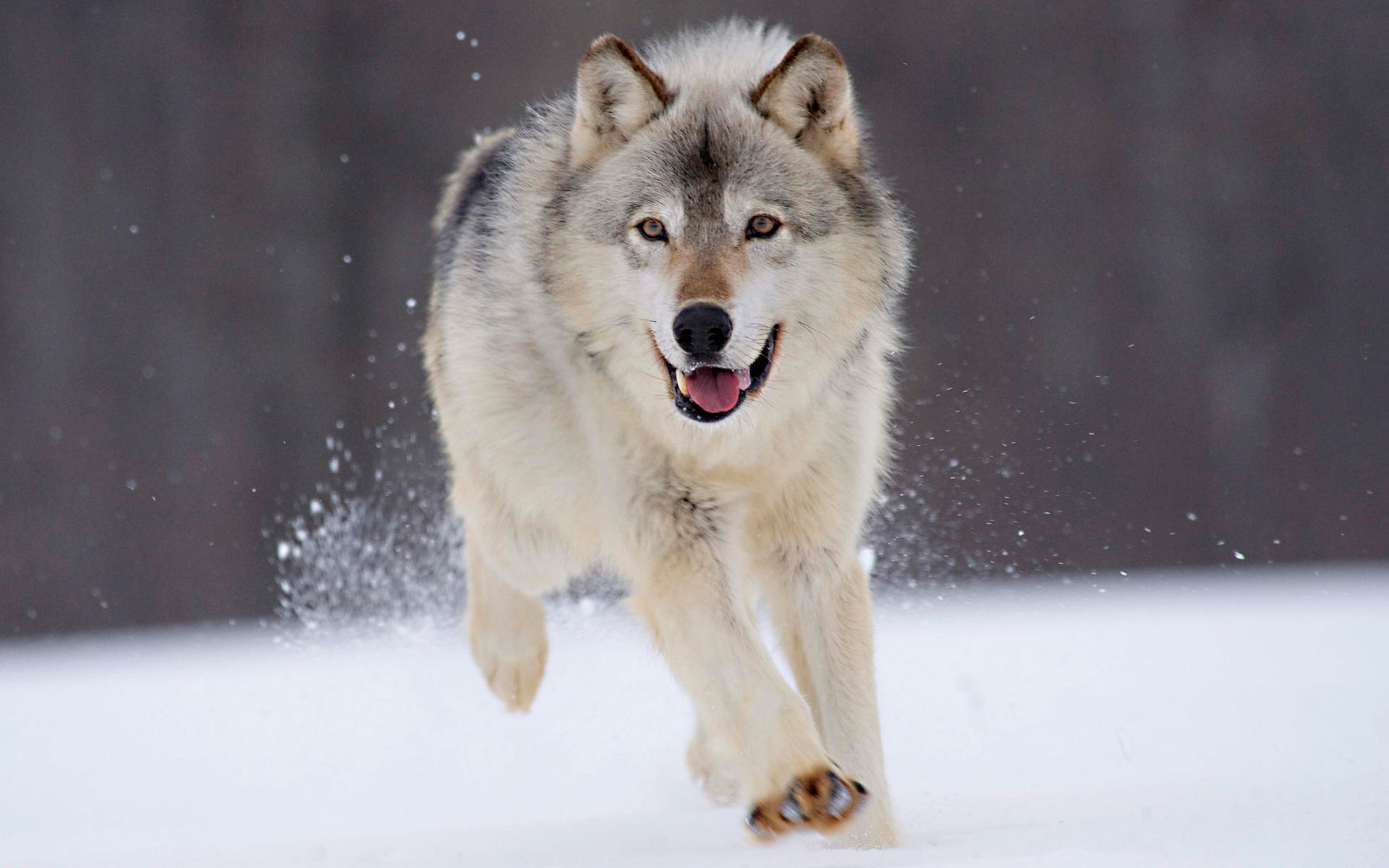 download wallpaper: wolf in de sneeuw wallpaper
