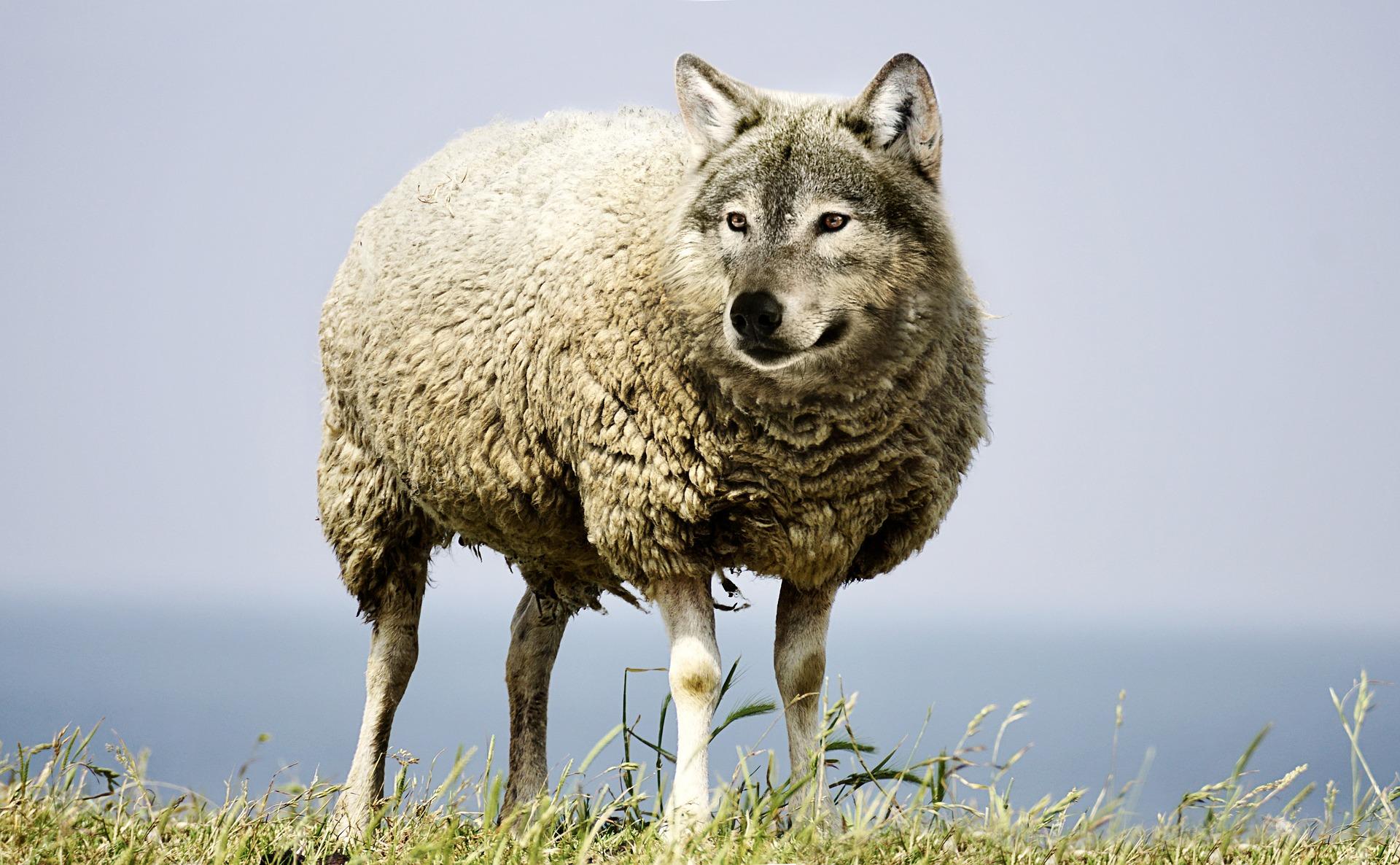 download wallpaper: wolf in schaapskleren wallpaper