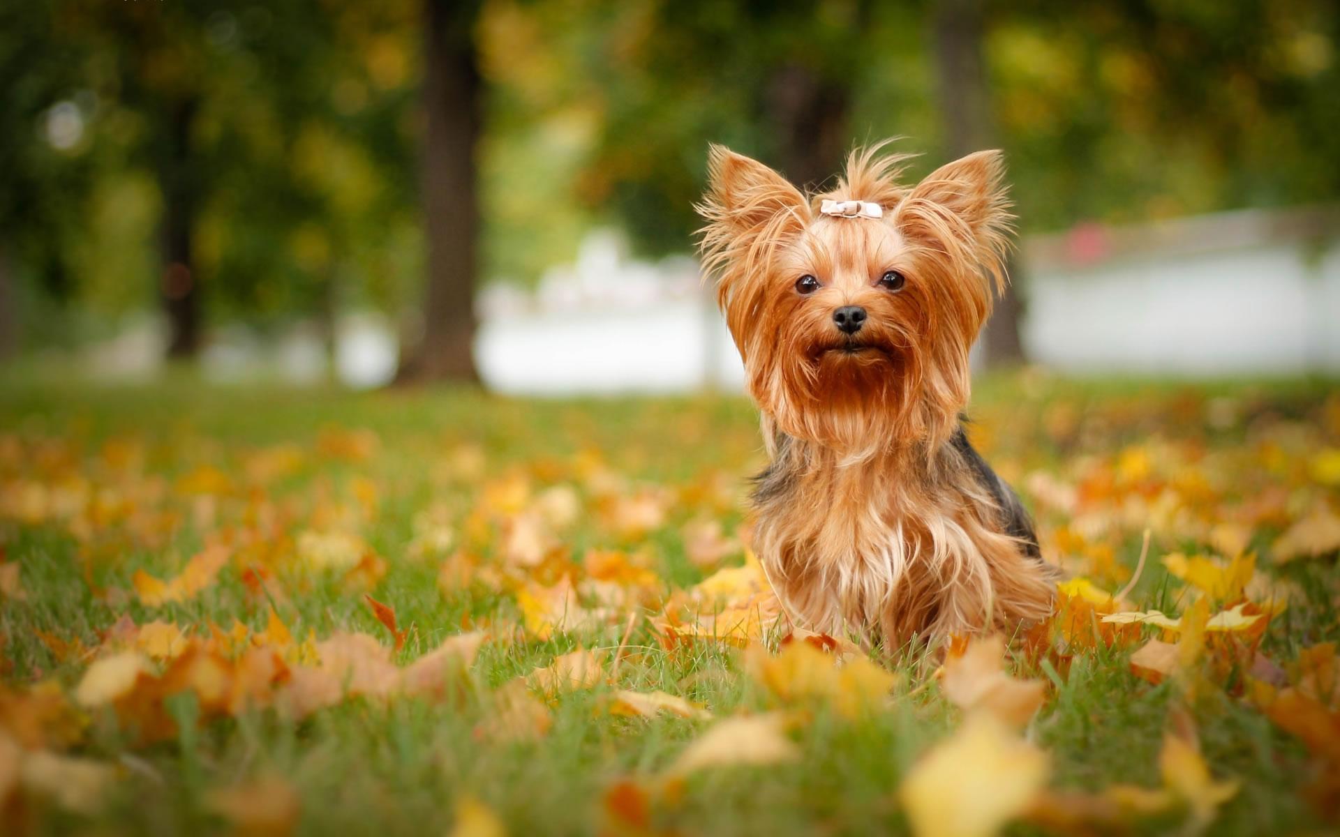 download wallpaper: Yorkshire terrier wallpaper