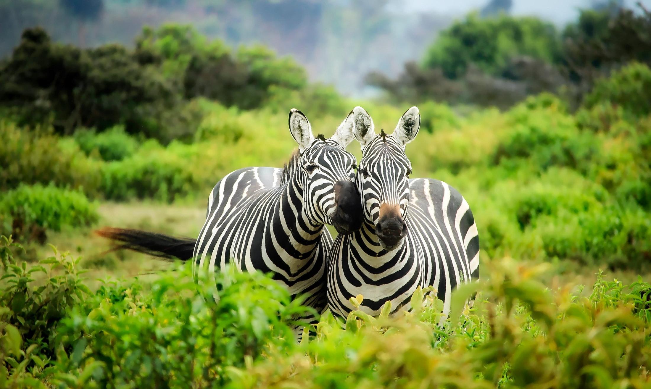 download wallpaper: zebras wallpaper