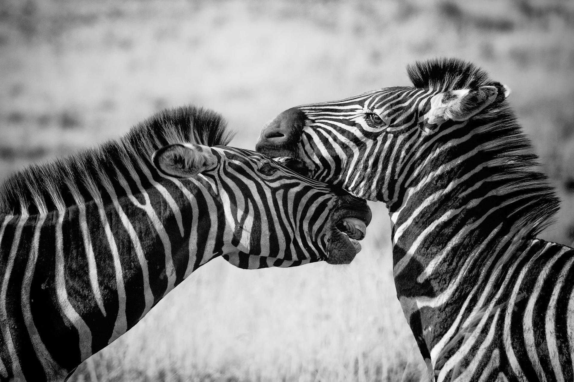 download wallpaper: zebra's wallpaper