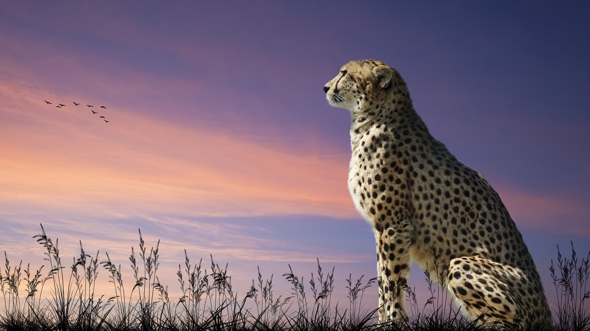 download wallpaper: een zittende cheetah wallpaper