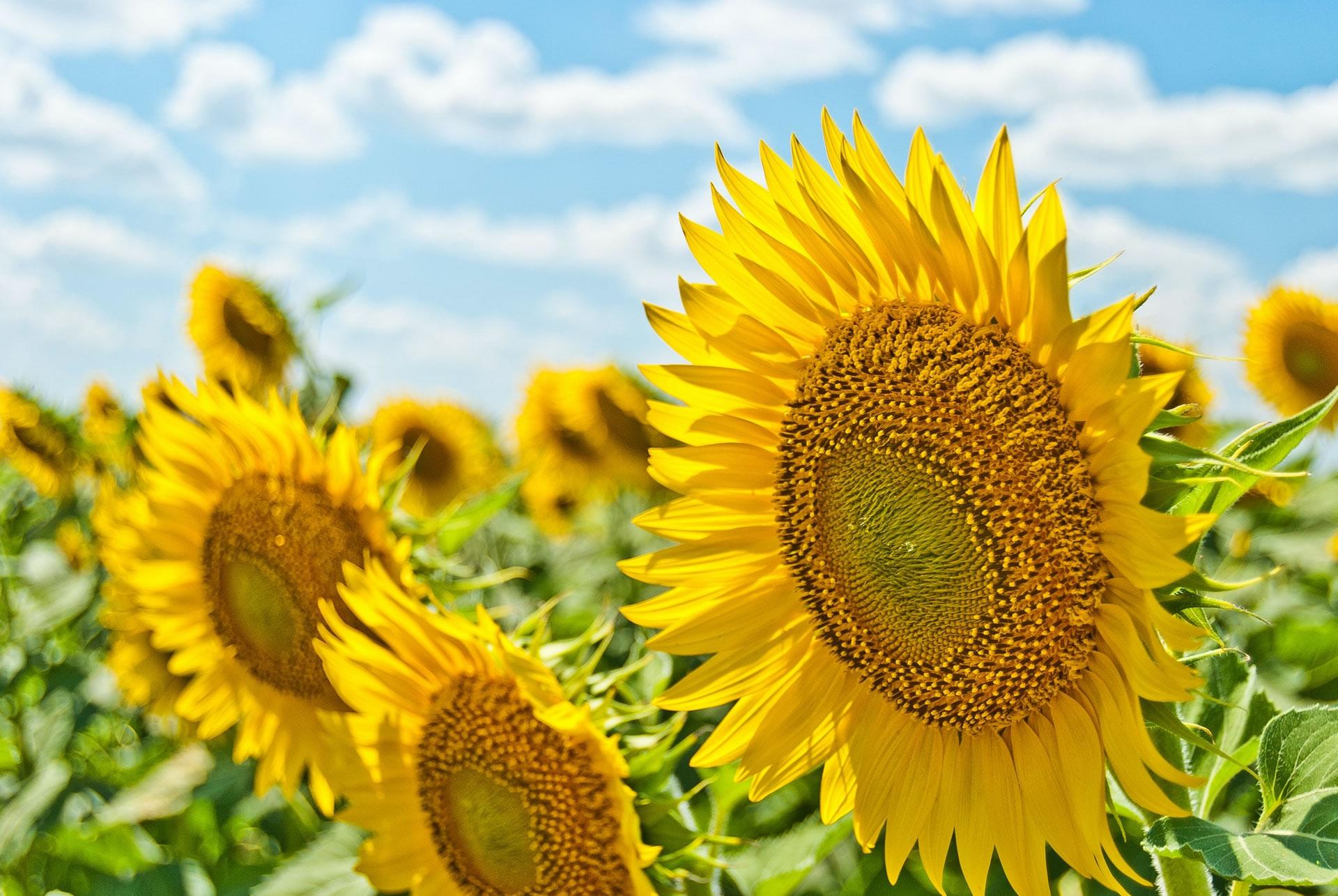 download wallpaper: zonnebloemen wallpaper